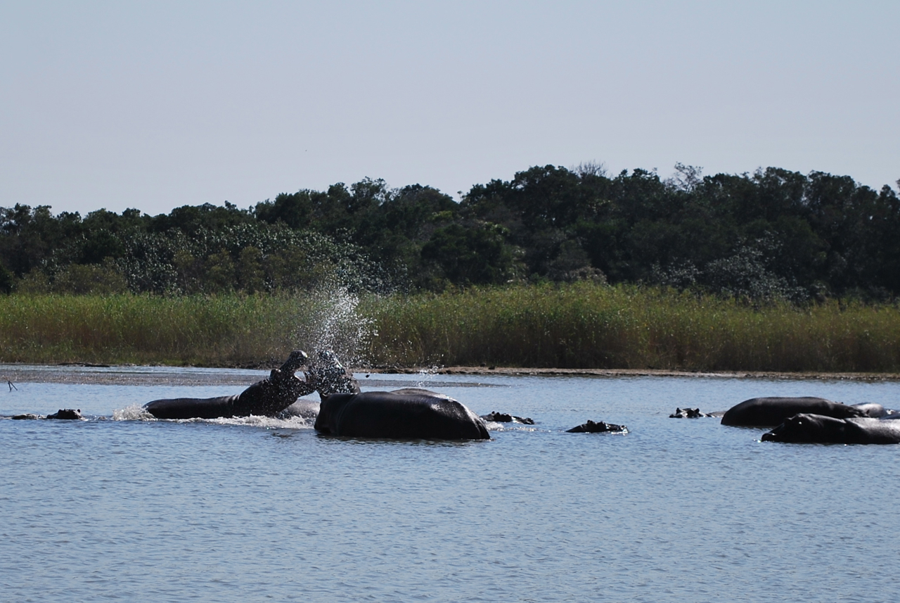 Flodhästar som bråkar