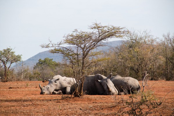 Some rhinos relaxing in the shade of a very small tree